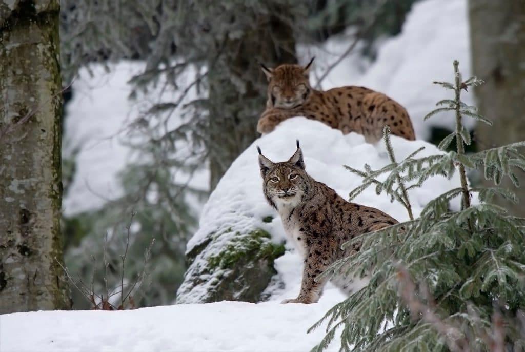חתול הבר